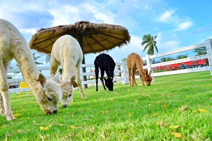 تفریح بچه ها در مزرعه گوسفند پاتایا (Pattaya sheep farm)
