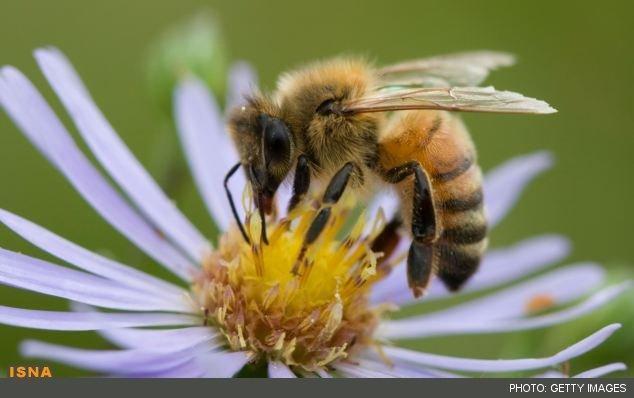 واردات ملکه زنبورعسل ممنوع شد