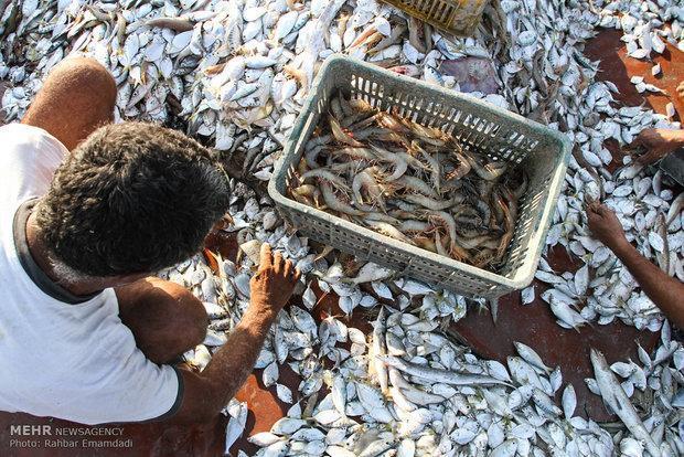 855 تن میگو در آب های استان بوشهر صید شد، کاهش 49 درصدی صید