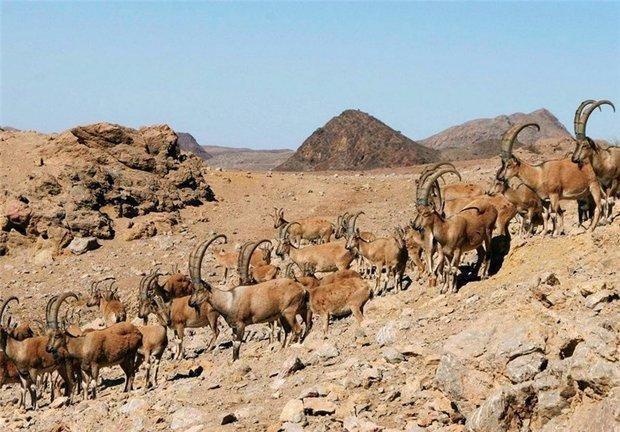 4 آبشخور در منطقه حفاظت گردیده کهیاز اردستان ساخته شد