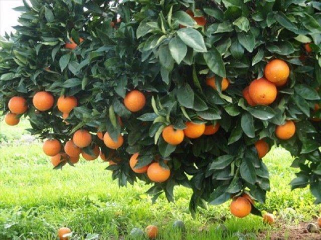 فراوری سالانه 255 هزار تن محصول باغی در لرستان
