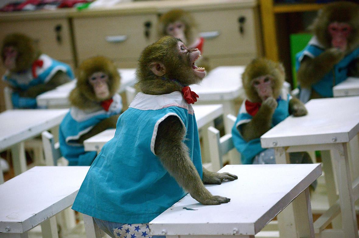 مدرسه میمون ها در تایلند