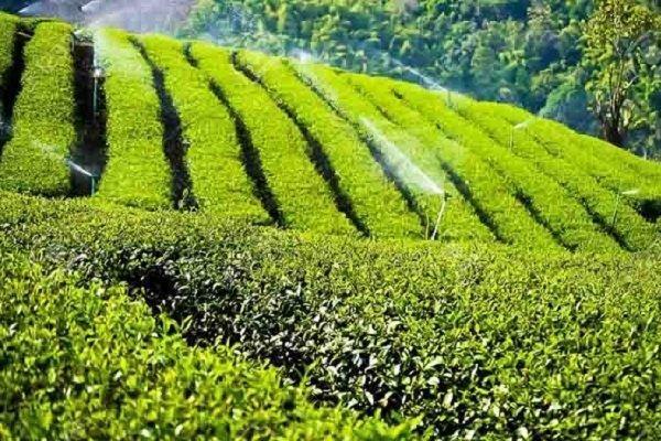 خریداری 103هزار تُن برگ سبز چای از چایکاران شمال کشور