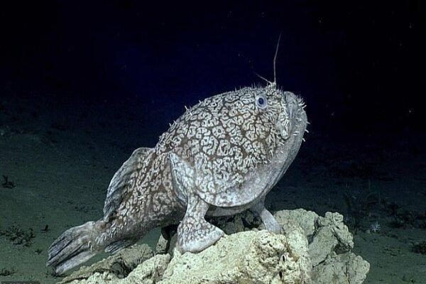 ماهی که در عمق 3 هزار فوتی با باله هایش راه می رود!