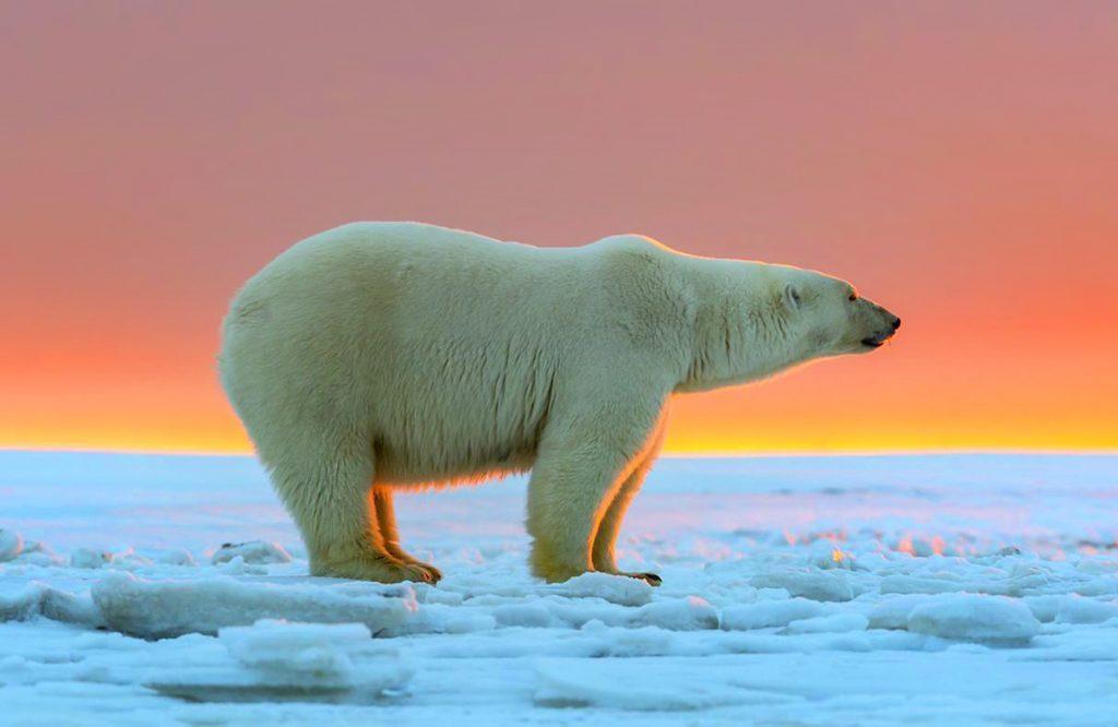 حیوانات قطبی جاذبه جدید گردشگری چین