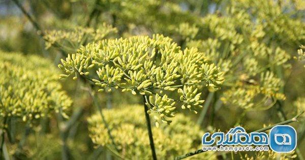 آنیسون؛ گیاهی شگفت انگیز با دنیایی از فایده
